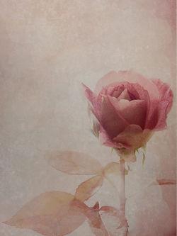 Framed-rose