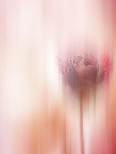 A-rose3a