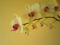 Orchideenrispe by tola58