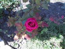 Im Schatten-Rosenverführung -pur von tola58