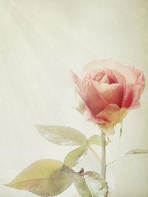nur eine Rose von Franziska Rullert