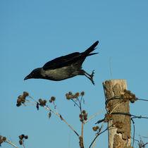 Nebelkrähe beim Abflug, departure of the Hooded Crow von Sabine Radtke