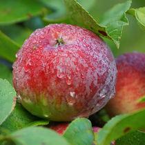 Nasser, roter Apfel, wet, red apple von Sabine Radtke