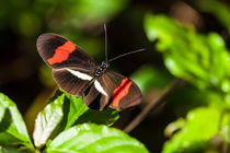 postman butterfly by Craig Lapsley