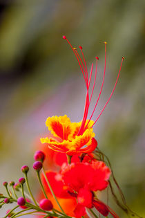 colorful dwarf poinciana flower by Craig Lapsley