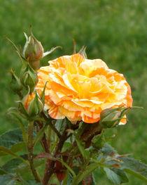Rosenblüte von lorenzo-fp