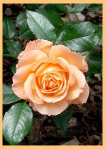 Rosenblüte by lorenzo-fp
