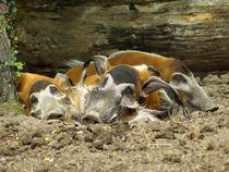 Pinselohrschweine beim Nickerchen, Red River Hogs von Sabine Radtke