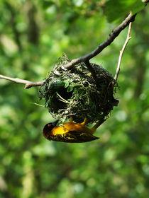 Webervogel beim Nestbau, Weaver Bird building a nest von Sabine Radtke