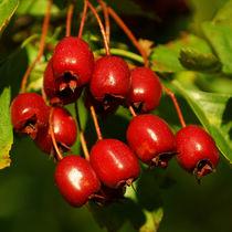 Weißdornfrüchte, fruits of hawthorn by Sabine Radtke