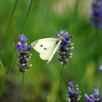 Lavendelgast, Guest of Lavender by Sabine Radtke