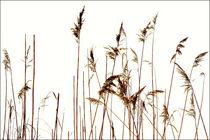 Schilfgräser von pichris