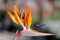 Paradies Vogel - Bird of Paradise von Gunter Nezhoda