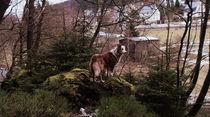 Ore Mountains Shepherd von Henning Hollmann