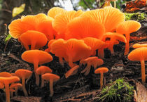 False Chanterelle Mushrooms, Clitocybe aurantiaca von Tom Dempsey