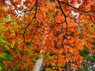 05blo-41-japanese-maple-fall-color