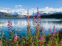 Pink fireweed, Summit Lake, Alaska Range von Tom Dempsey