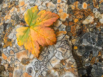 Orange lichen polygons, leaf, Denali SP, Alaska by Tom Dempsey