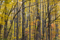 Yellow poplar pattern, Great Smoky Mountains, TN von Tom Dempsey
