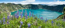 Lake Quilotoa caldera, lupine flowers, Ecuador by Tom Dempsey