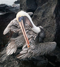Galapagos Brown Pelican preens, Galapagos Islands by Tom Dempsey