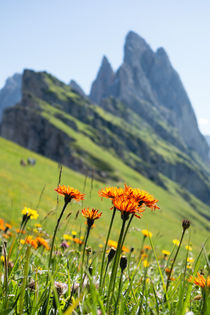 Hieracium orange flower, Seceda, South Tyrol by Tom Dempsey