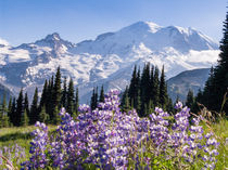 Lupine flowers, Sunrise, Mount Rainier, Washington von Tom Dempsey
