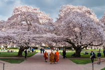 Buddhist cherry spring, Seattle, University of Washington von Tom Dempsey