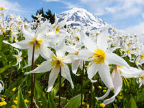 White Avalanche Lily flowers, Mount Rainier, USA by Tom Dempsey
