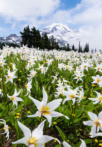 White Avalanche Lily flowers, Mount Rainier, USA von Tom Dempsey