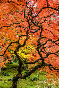 Japanese maple, fall orange pattern, Seattle. by Tom Dempsey