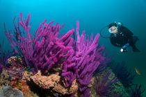Diver looks at Soft corals von Norbert Probst