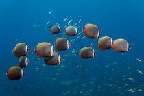 Shoal Redtail Butterflyfishes von Norbert Probst