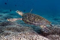 Hawksbill turtle von Norbert Probst