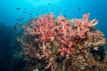 Soft Coral Reef  von Norbert Probst