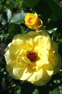 Yellow Rose by britty