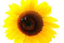 Sonnenblume von britty