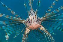 Lionfish von Michael Moxter