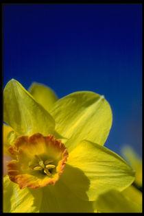 Daffodil  von Frank Baker