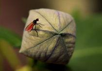 Kleine Fliege  von Johanna Leithäuser