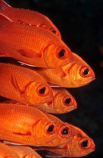 soldierfish von Michael Moxter