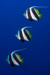 bannerfisch by Michael Moxter