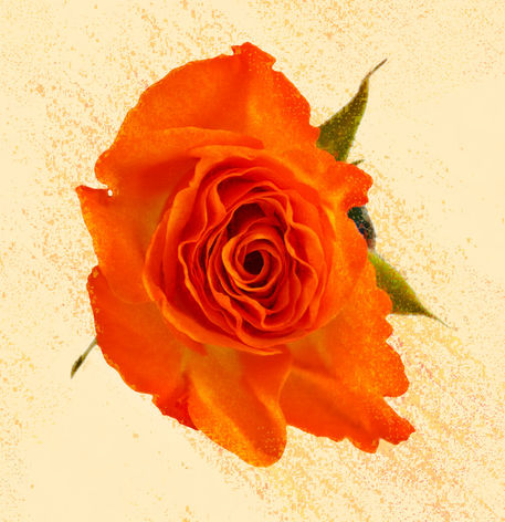 Rose-orange-seura-3579-2012