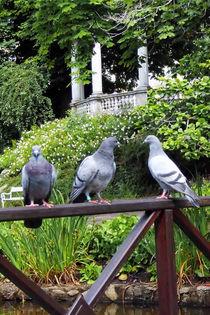 Tauben von britty