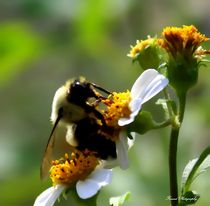Bumble Bee by forandphotography
