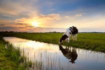 Cows at sunset von Olha Rohulya