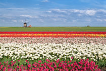 Dutch spring colors by Olha Rohulya