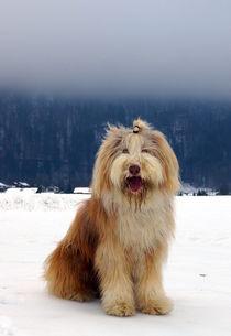 Bearded Collie im Schnee von Lucie Arbinger