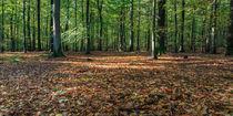 Bradley Hill Beech Woods von David Tinsley