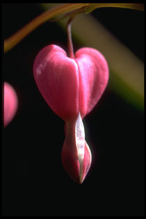 Fuchsia by Frank Baker